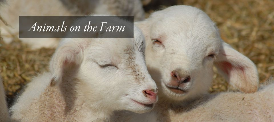 The-Farm-Animals